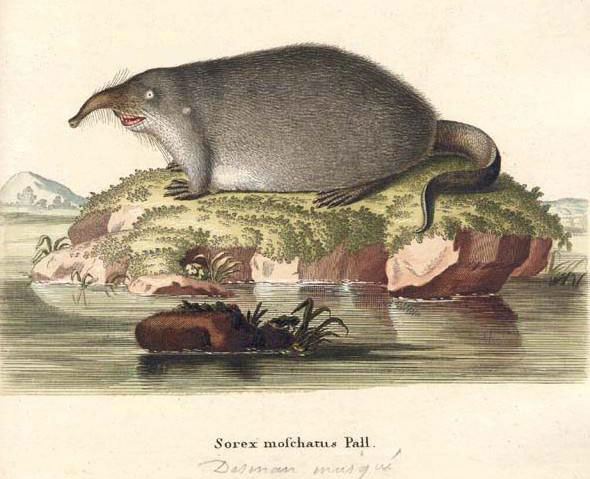 Sorexmoschatuspall2